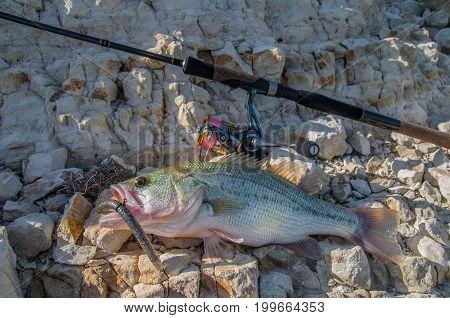 Catched Bass Fish And Fishing Rod On Stones