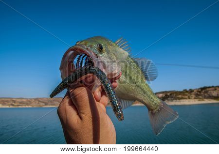 Bass Fishing. Fish With Worm Bait In Jaw