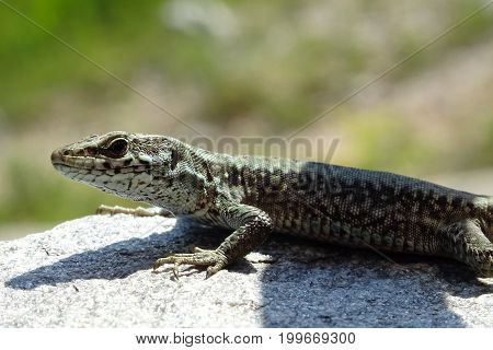 Portrait of a lizard standing still on a rock