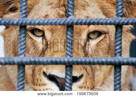 Sad lioness looking through cage bars in the zoo