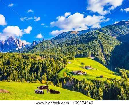 Warm autumn in the Dolomites, the Val de Funes. The concept of ecological tourism. Well-fed cows graze on the green meadows of the mountain valley