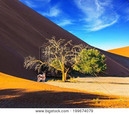 Namibia, South Africa. Sunset in the Namib Desert. The concept of extreme and exotic tourism. African Oryx gaselle standing at the dune