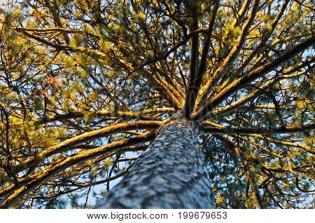 Under the powerful golden pine tree at Topcider park, Belgrade, Serbia