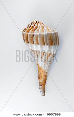 Lightning Whelk Shell