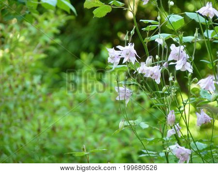 Light Pink Aquilegia Columbine Flowers On Green Background