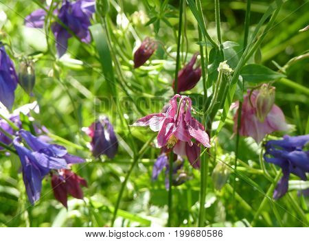 Pink And Purple Blue Aquilegia Columbine Flowers On Green Background