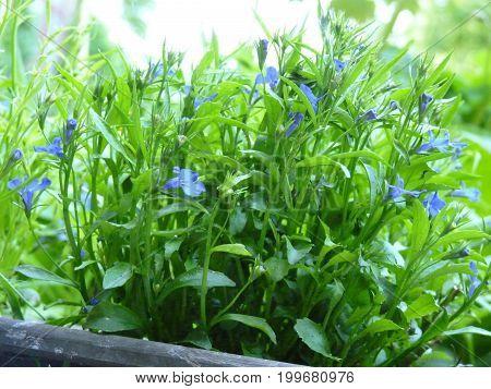 Close up macro detail image of blue lobelia flowers in flower box.