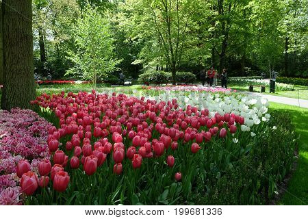 KEUKENHOF HOLLAND - MAY 14 2017: Flower bed of red and white tulips in the shade of trees in the Royal Keukenhof Park