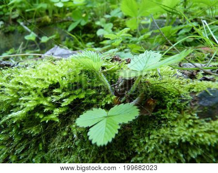 Close Up Macro Detail Of Wild Strawberry Growing In Moss