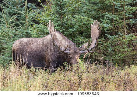 a nice alaska yukon bull moose in velvet
