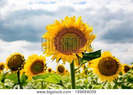 nice sunflowers on rural farm field
