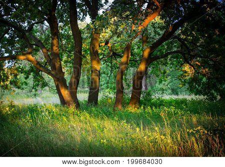 oak trees on green meadow in forest