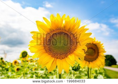 nice yellow sunflowers on farm field in sunny day