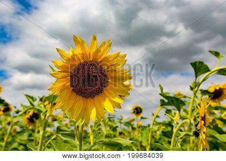 nice sunflower on summer meadow in sunni day