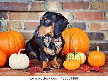 Black and tan miniature Dachshund and pumpkins purebred dog wearing bow tie selective focus toned image