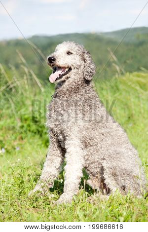 poodle dog portrait. Natural untrimmed hair. Sit in meadow