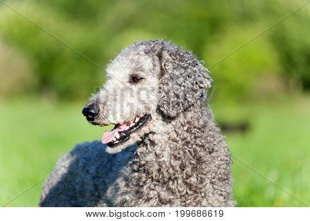 Poodle dog portrait with natur hair. Untrimmed fur