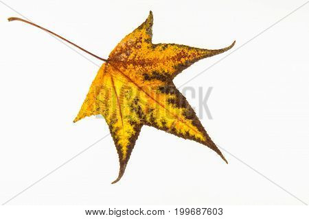 Autumn Colored Liquidambar Styraciflua Leaf Isolated