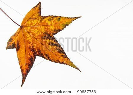 Autumn colored Liquidambar styraciflua leaf isolated on white background