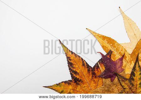 Autumn leaves of liquidambar styraciflua colorful background