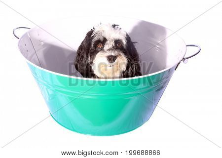 Dog Bath. A beautiful black and white dog sits in a blue wash tub for his dog bath. Isolated on white with room for text.