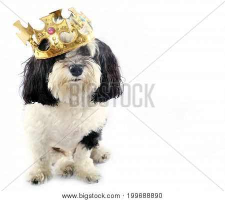 black and white dog. A black and white Havanese dog wears gold chains and a king crown. isolated on white with room for text.