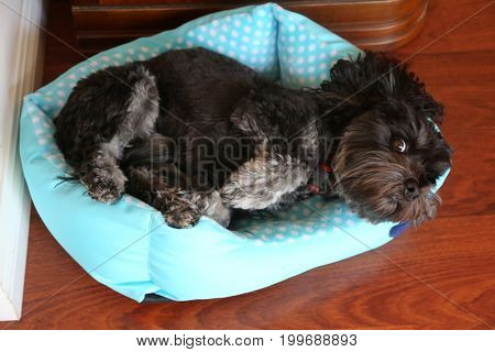 Dog in a dog bed. A dog sleeps in his dog bed.