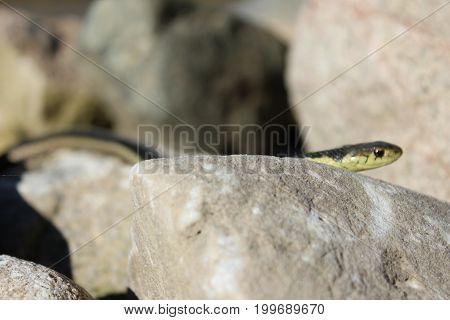 Gardner snake warming in the morning sun