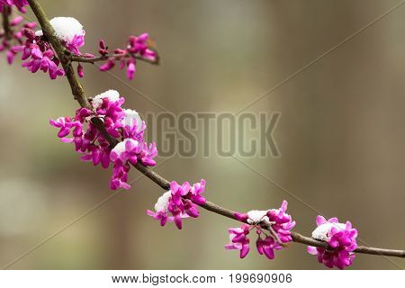 Spring redbud flowers and snow along a branch with copy space.