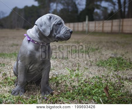 Young purebred Great Dane puppy sitting on a field