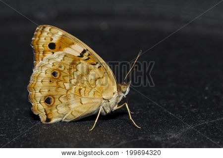 Blue pansy butterfly ( Junonia orithya Linnaeus ) on black background