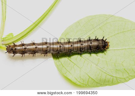 Caterpillar Of Blue Pansy Butterfly ( Junonia Orithya Linnaeus ) Resting On Twig With White Backgrou