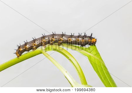 Caterpillar Of Blue Pansy Butterfly ( Junonia Orithya Linnaeus ) Resting On Twig