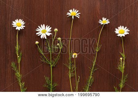 Five white chamomiles on brown wooden background