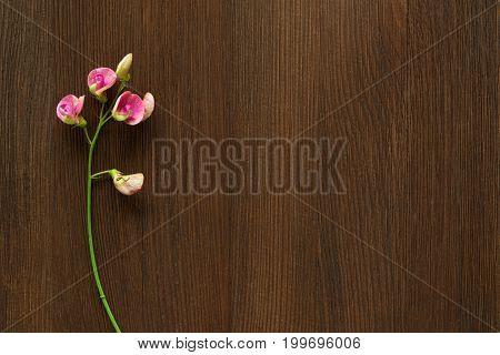 Pink snapdragon flower on dark wooden background