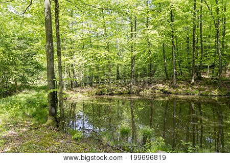 sunny scenery showing a tarn in a forest at spring time