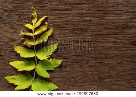 Withered rowan leaves on brown wooden background