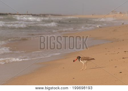 American Oystercatcher (Haematopodidae) eating a mussel on the beach