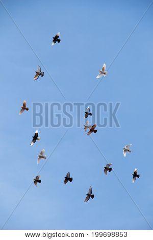 Flock Of Birds Fly In  Blue Sky