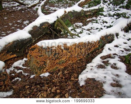 Crust Fungus On Tree With Snow