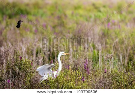 Great Egret (Aredea Alba) is chased through a field of marsh wildlowers by a female red-winged blackbird