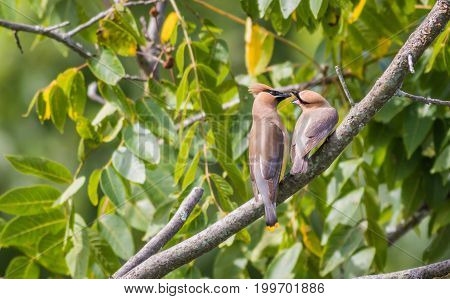 Hungry Cedar Waxwing  (Bombycilla Cedrorum) fledgling gets food from parent