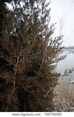 An eastern juniper tree (Juniperus virginiana) stands beside  the quarry pond in the Rock Run Preserve of Joliet, Illinois, during January.
