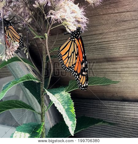 A bright orange and black butterfly hangs upside down on a purple flower with green leaves on a sunny summer day.