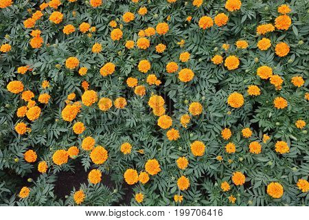 Wide angle shot of yellow marigold flowers