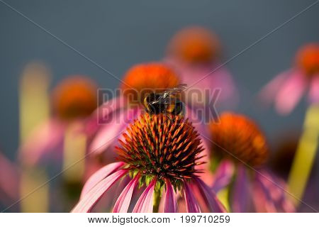 Some flowers of Echinacea purpurea or Hedgehog coneflower.