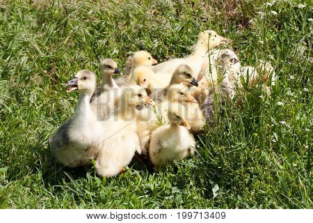A flock of little geese grazing in green grass.