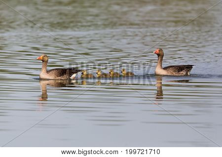Gray Geese (anser Anser) Family With Four Fledglings Offspring