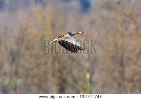 One Gray Goose (anser Anser) Flying With Trees
