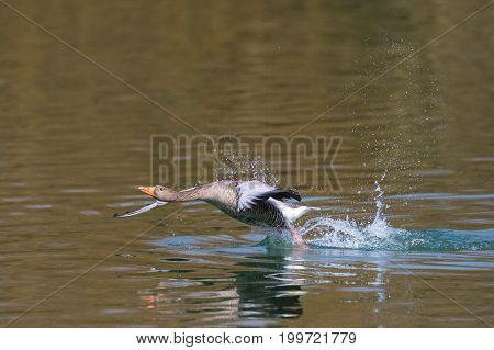 One Gray Goose (anser Anser) Running On The Water Surface